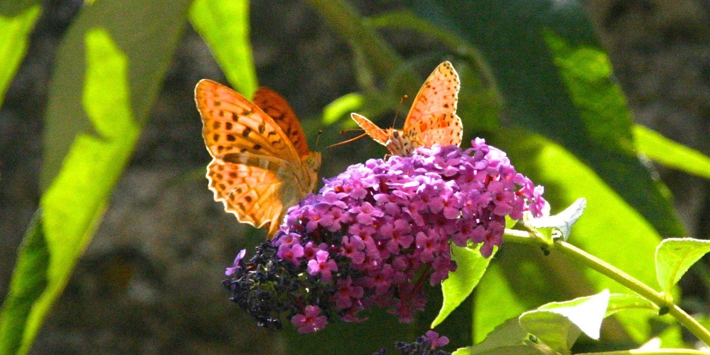 Vlinders op een bloem